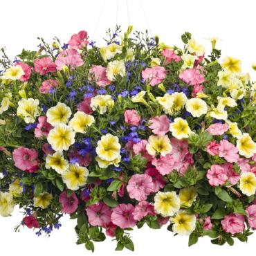"PROVEN WINNER HANGING BASKET 13""OUTDOOR"