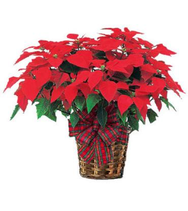 "11""Poinsettia Plant red"
