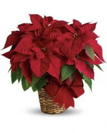 "6.5""Poinsettia Plant Red"