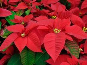 "8""Poinsettia Plant red"